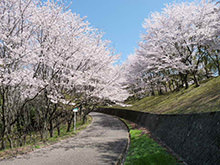 北幹線園路の桜並木